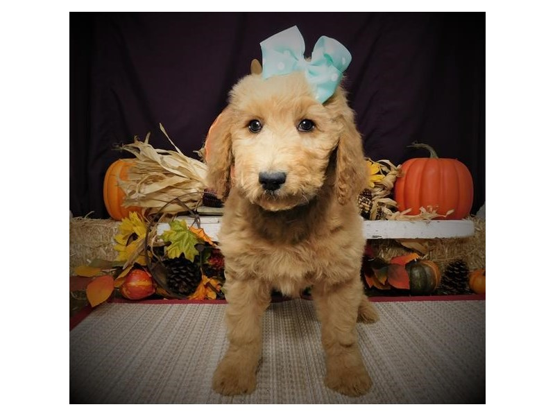 Goldendoodle 2nd Gen-Female-Apricot-2517523-Pet City Houston
