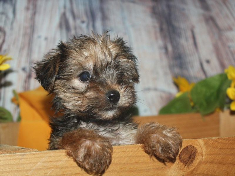 Morkie-Male-BLK/TAN-2517250-Pet City Houston