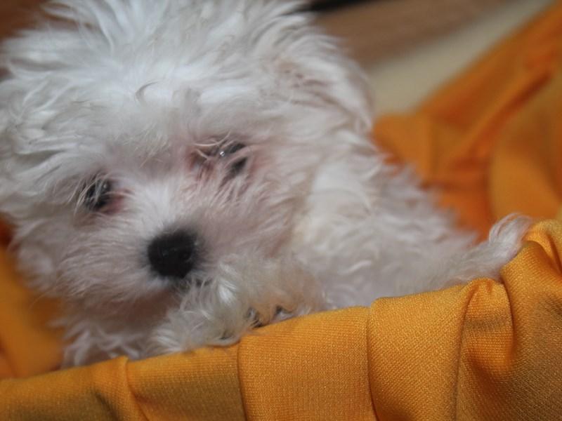 Maltese-Male-WHITE-2517180-Pet City Houston