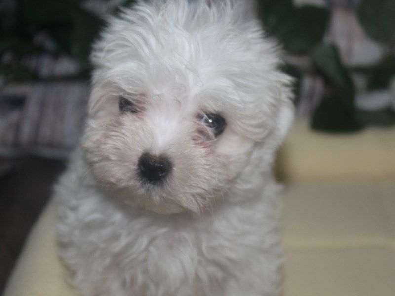 Maltese-Female-WHITE-2517209-Pet City Houston