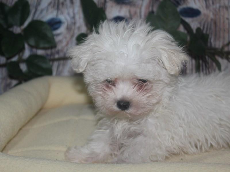 Maltese-Male-WHITE-2517177-Pet City Houston