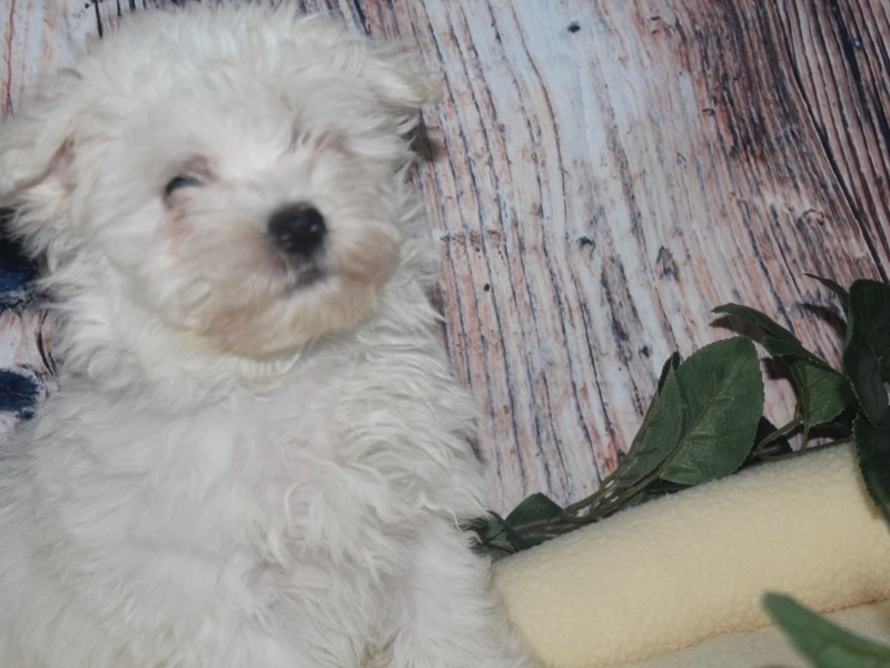 Maltese-Male-WHITE-2517181-Pet City Houston
