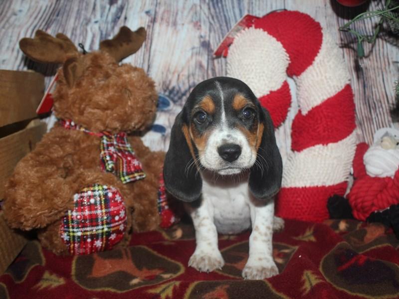 Beagle-Female-TRI-2517274-Pet City Houston