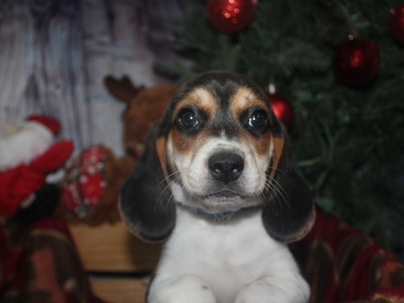 Beagle-Male-TRI-2517298-Pet City Houston
