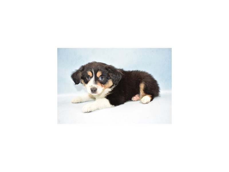 Miniature Australian Shepherd-Male-Black White and Brown-2524214-Pet City Houston