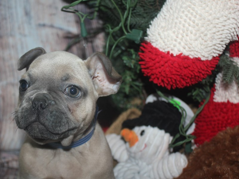 French Bulldog-Male-BLUE FAWN-2525730-Pet City Houston