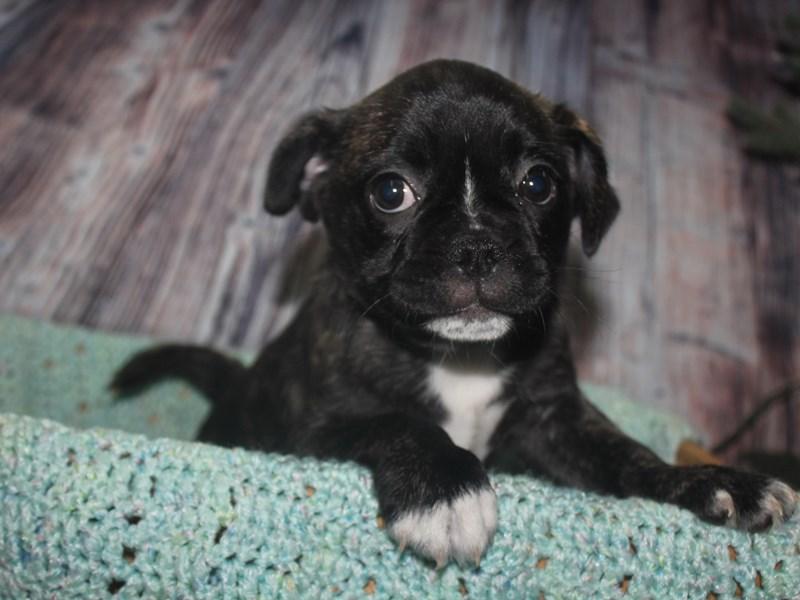 Frenchie-Pug