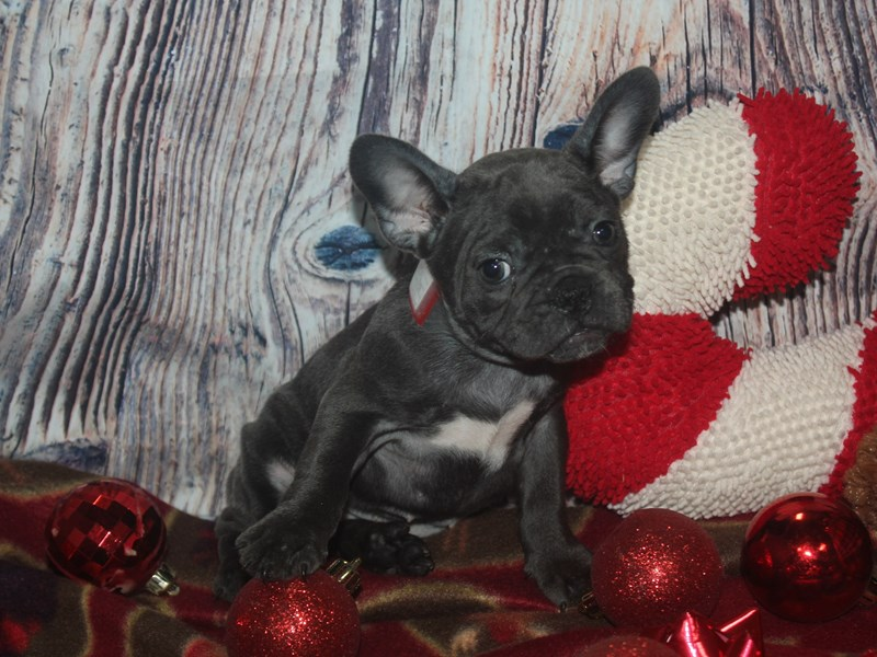 French Bulldog-Female-BLUE-2525777-Pet City Houston
