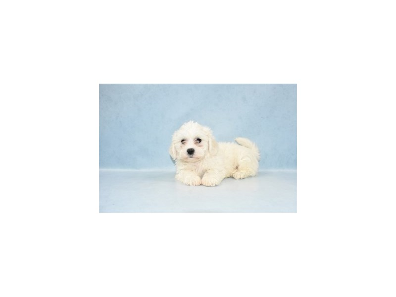 Teddy Bear-Male-White-2531613-Pet City Houston