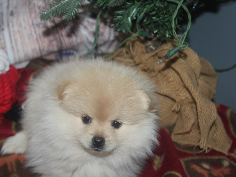 Pomeranian-Female-CREAM-2533030-Pet City Houston