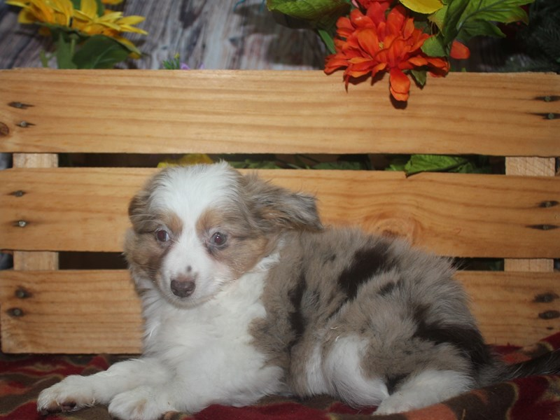 Miniature Australian Shepherd-Female-RED MERLE-2533003-Pet City Houston