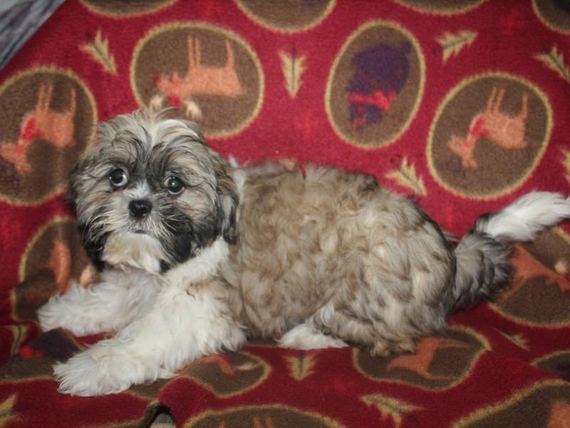 Shih Tzu-Male-GLD & WHT-2532917-Pet City Houston