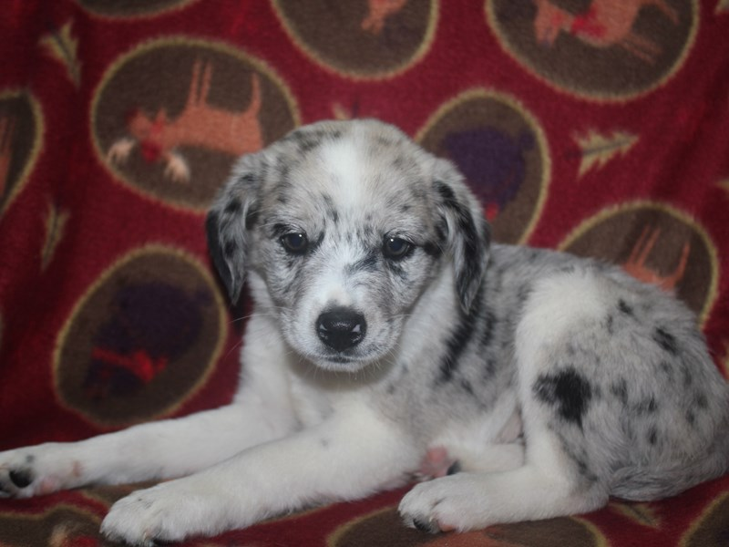 Aussie-Male-WHT-2533129-Pet City Houston