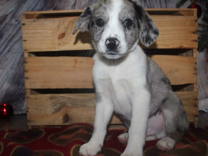 Aussie-Male-WHT-2533126-Pet City Houston