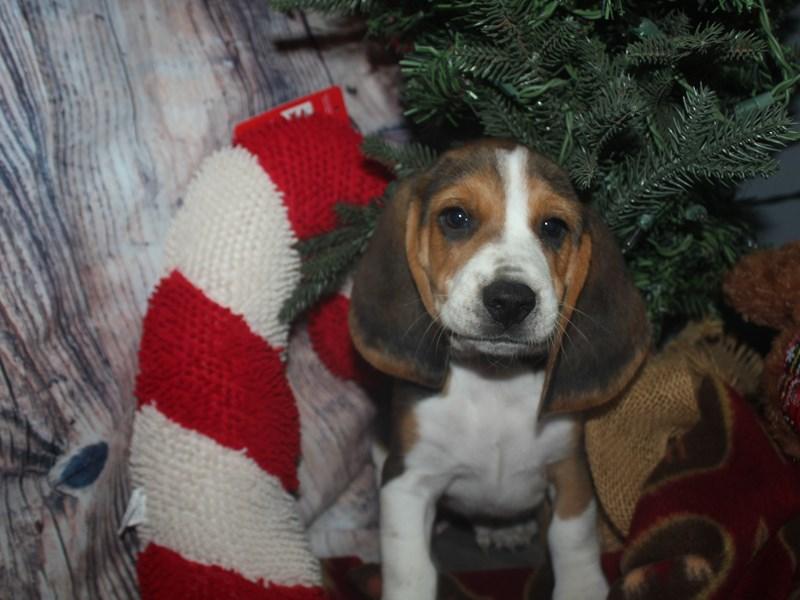 Beagle-Male-TRI-2533113-Pet City Houston