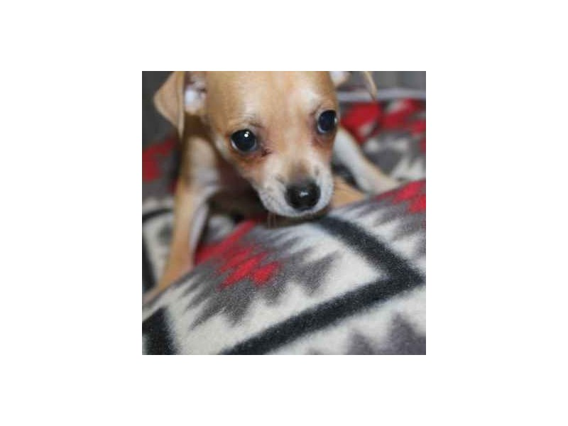 Chihuahua-Female-FAWN-2458572-Pet City Houston