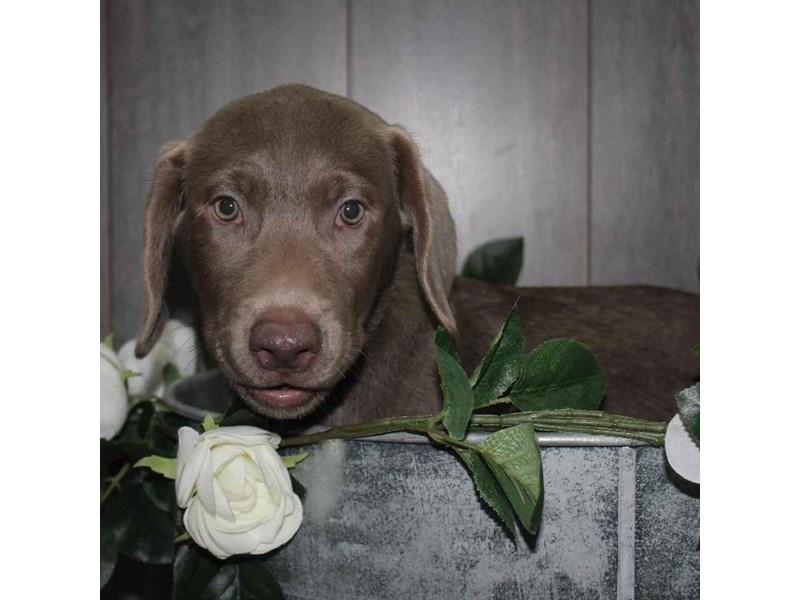 Labrador Retriever-Male-SILVER-2458617-Pet City Houston