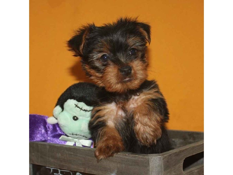 Yorkshire Terrier-Female-BLACK & TAN-2468236-Pet City Houston