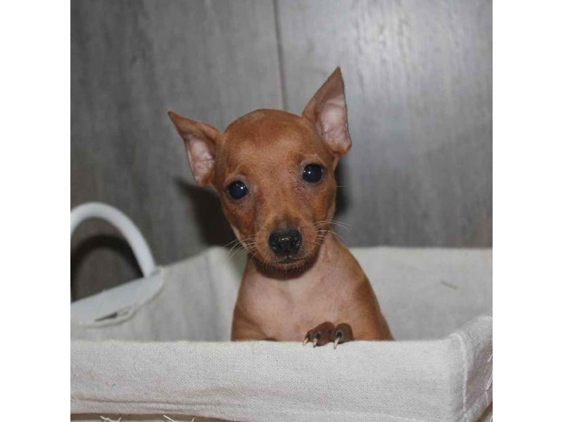 Miniature Pinscher-Female-RED-2468231-Pet City Houston