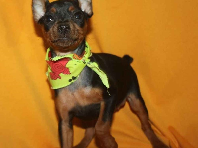Miniature Pinscher-Female-BLACK & TAN-2468230-Pet City Houston