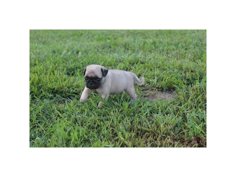 Pug-Female-FAWN-2471798-Pet City Houston