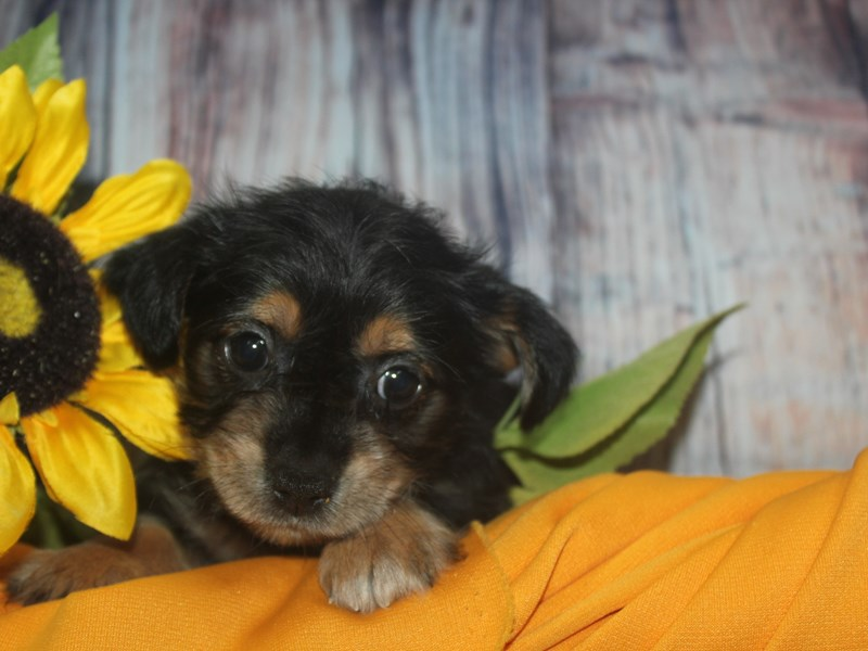 YorkieApso-Female-BLK/TAN-2513578-Pet City Houston