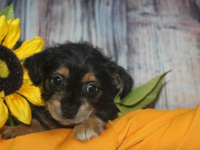 YorkieApso-Female-BLK/TAN-2513578-Pet City Houston
