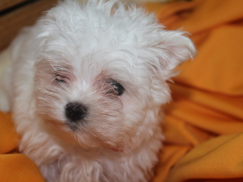 Maltese-Female-WHITE-2517207-Pet City Houston
