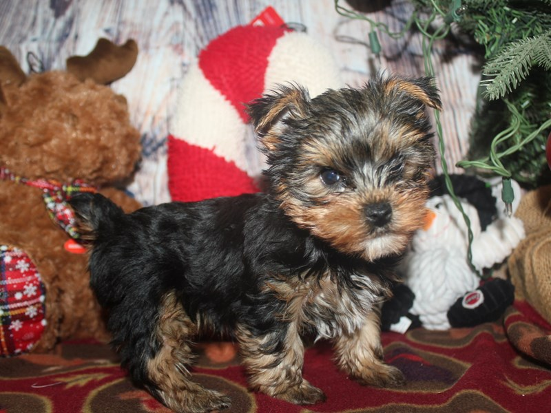 Yorkshire Terrier-Male-BLK/TAN-2517154-Pet City Houston