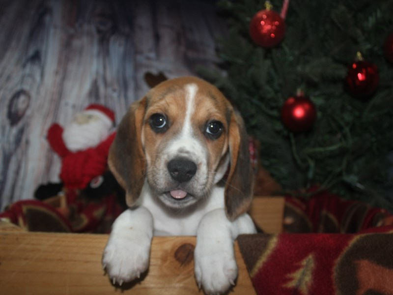 Beagle-Female-TRI-2517292-Pet City Houston
