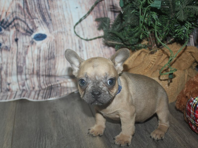 French Bulldog-Male-BLUE FAWN-2525752-Pet City Houston