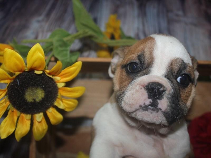 English Bulldog-Female-Red / white-2531946-Pet City Houston