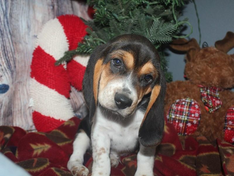 Beagle-Male-TRI-2533111-Pet City Houston