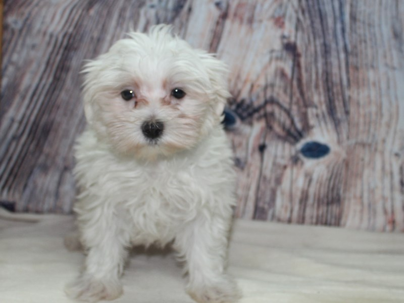 Maltese-Male-White-2555670-Pet City Houston