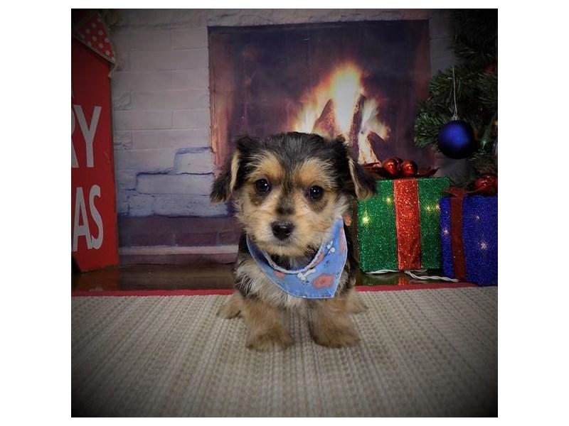 Maltese/Silky Terrier
