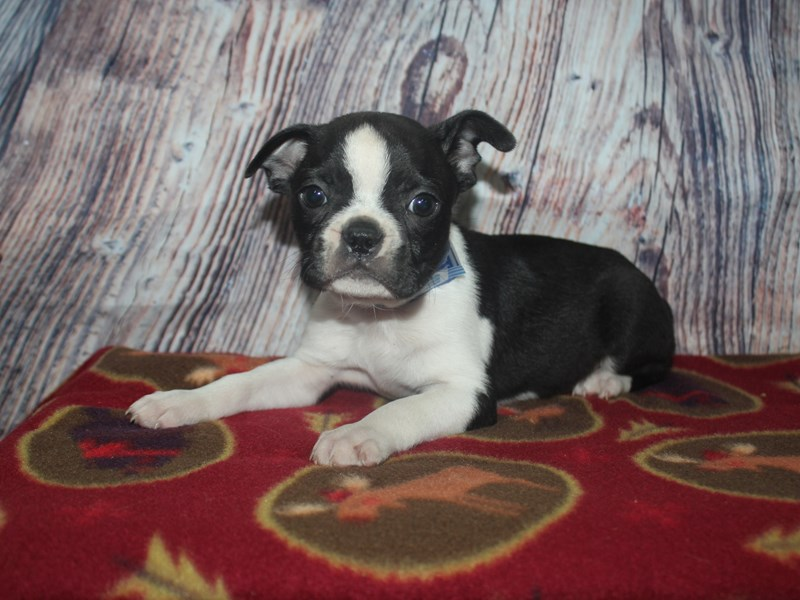Boston Terrier-Male-BLK/WHITE-2564667-Pet City Houston
