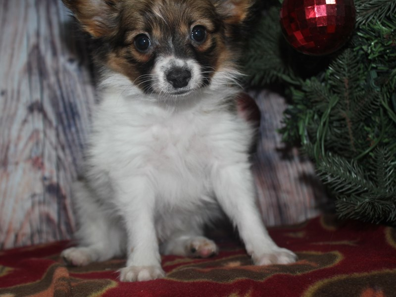 Papillon-Male-RED / WHITE-2561791-Pet City Houston