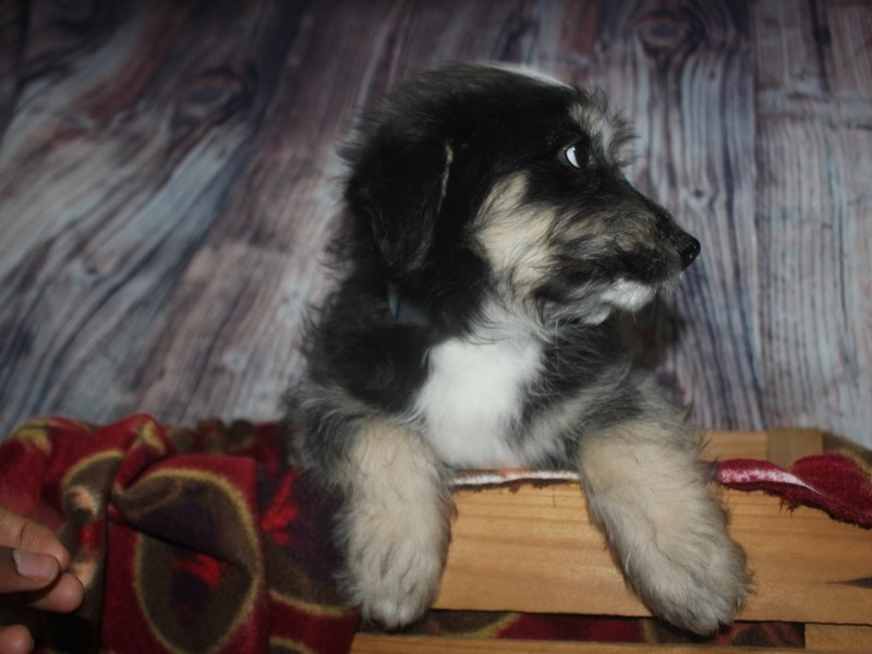 Huskypoo-Male-BLK/TAN-2564721-Pet City Houston
