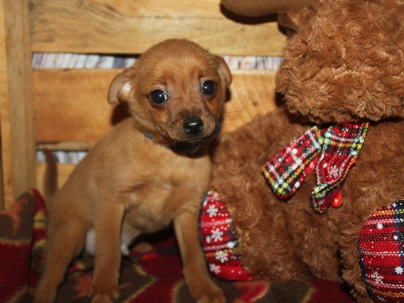 Pomchi-Male-RED-2564619-Pet City Houston