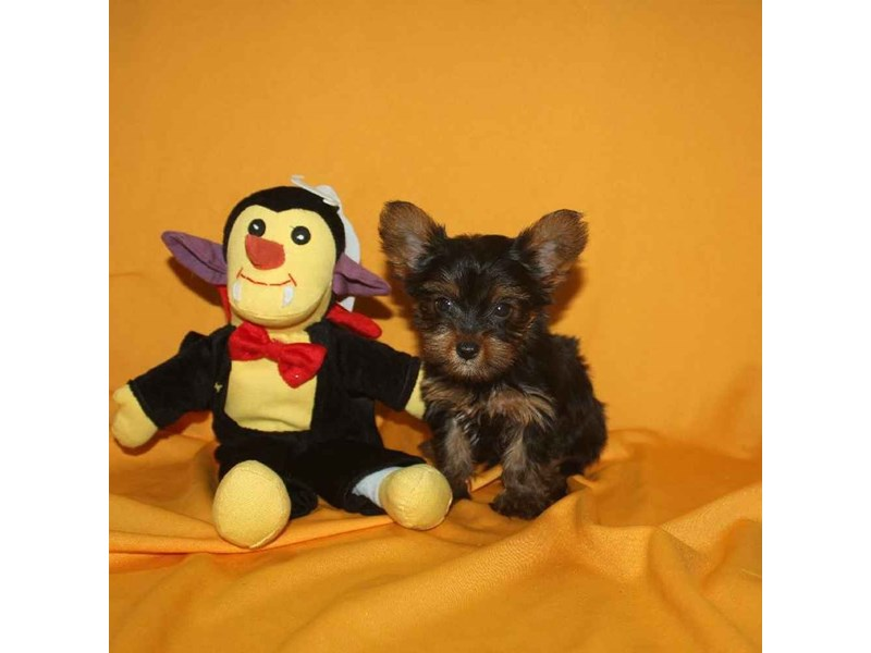 Yorkshire Terrier-Male-BLACK & TAN-2468247-Pet City Houston