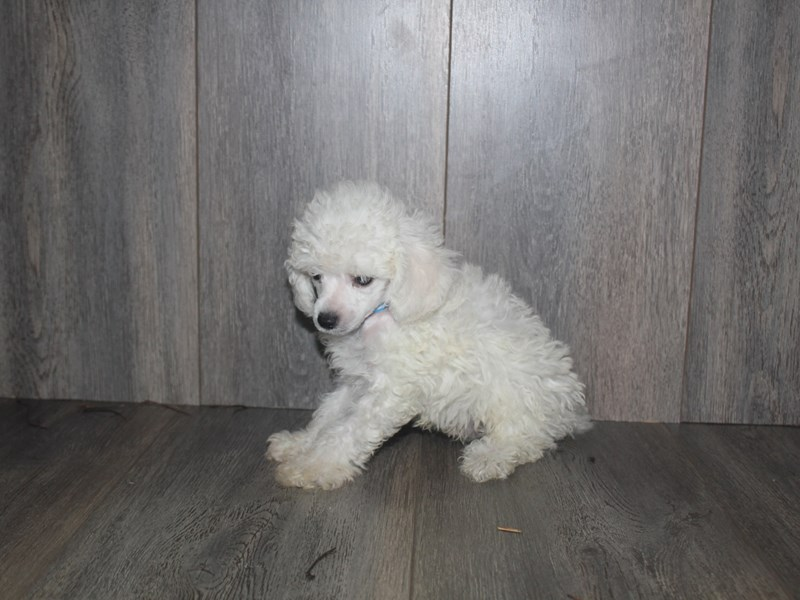 Toy Poodle-Male-WHITE-2467233-Pet City Houston
