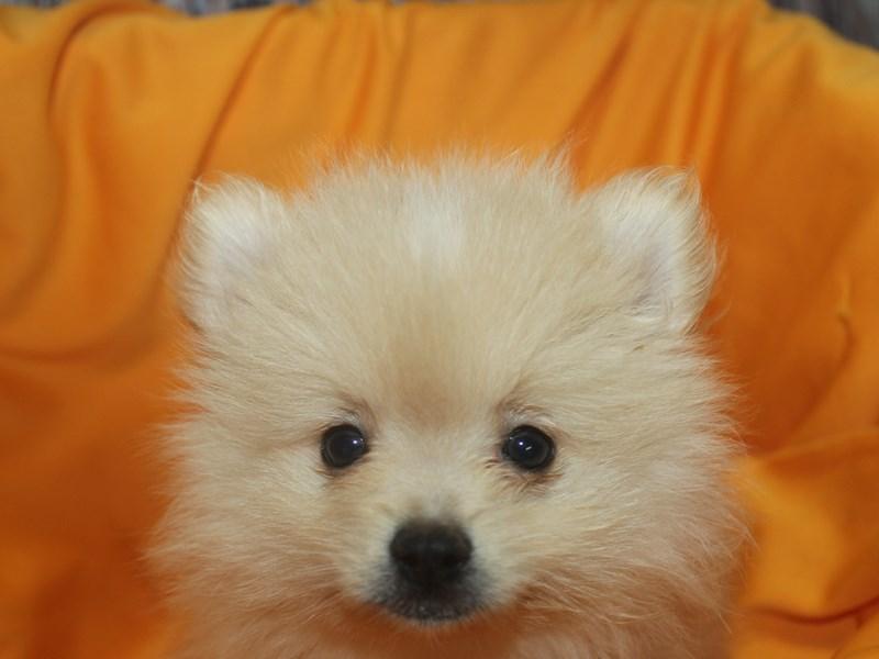 Pomeranian-Male-CREAM-2498537-Pet City Houston