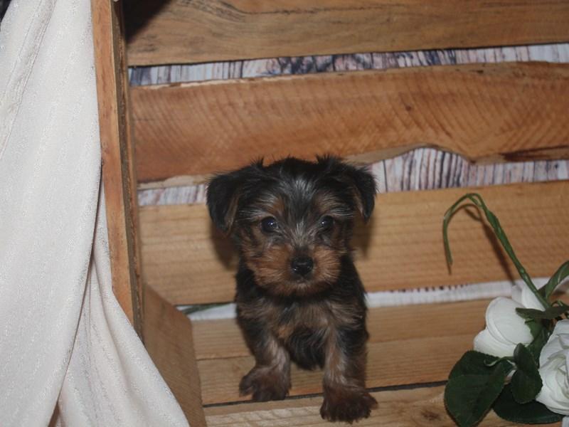Yorkshire Terrier-Male-BLK/TAN-2513593-Pet City Houston