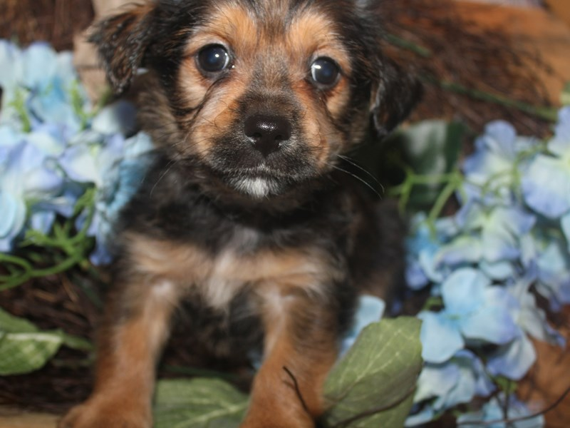 YorkieApso-Male-SABLE-2513570-Pet City Houston
