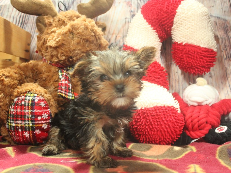 Yorkshire Terrier-Female-BLK/TAN-2517152-Pet City Houston