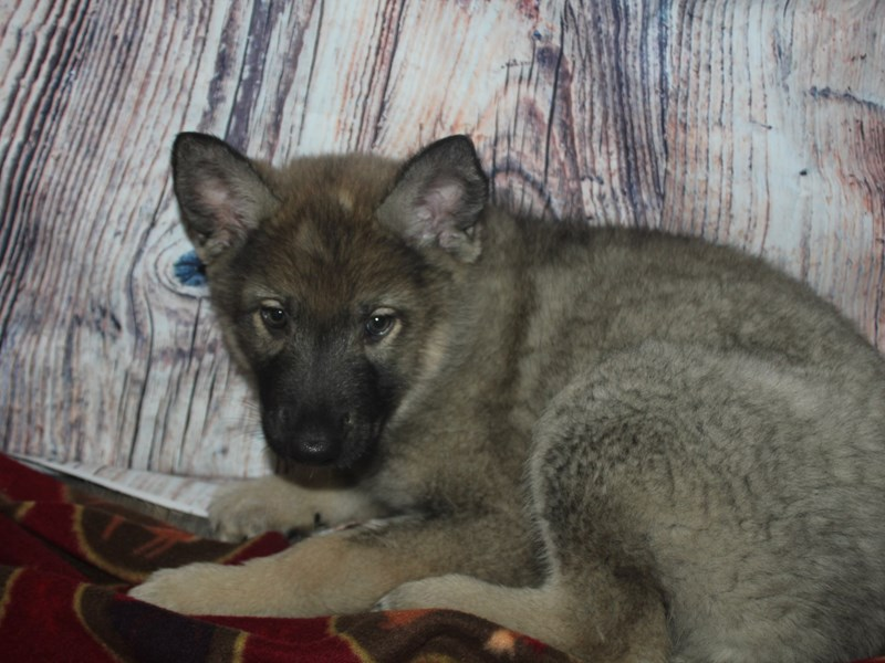Wolf Hybrid-Female-SABLE-2564553-Pet City Houston