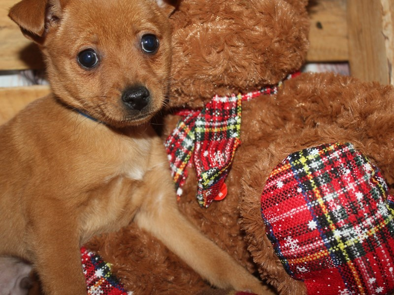 Pomchi-Male-RED-2564620-Pet City Houston