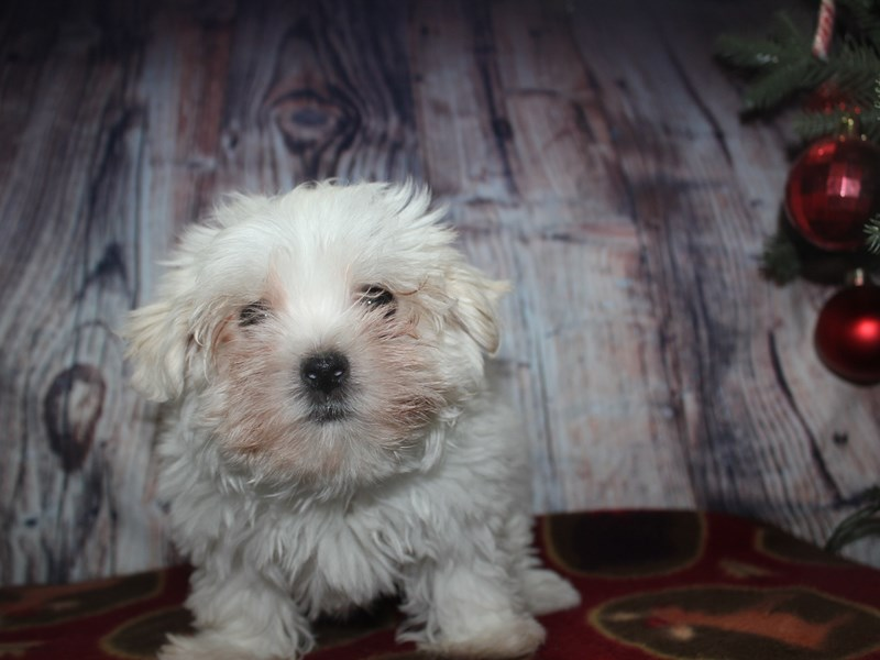 Maltese-Male-WHITE-2564603-Pet City Houston