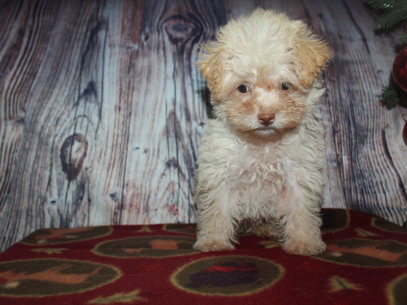 Malti Poo-Female-CREAM-2568496-Pet City Houston