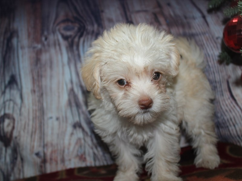 Malti Poo-Female-CREAM-2568497-Pet City Houston